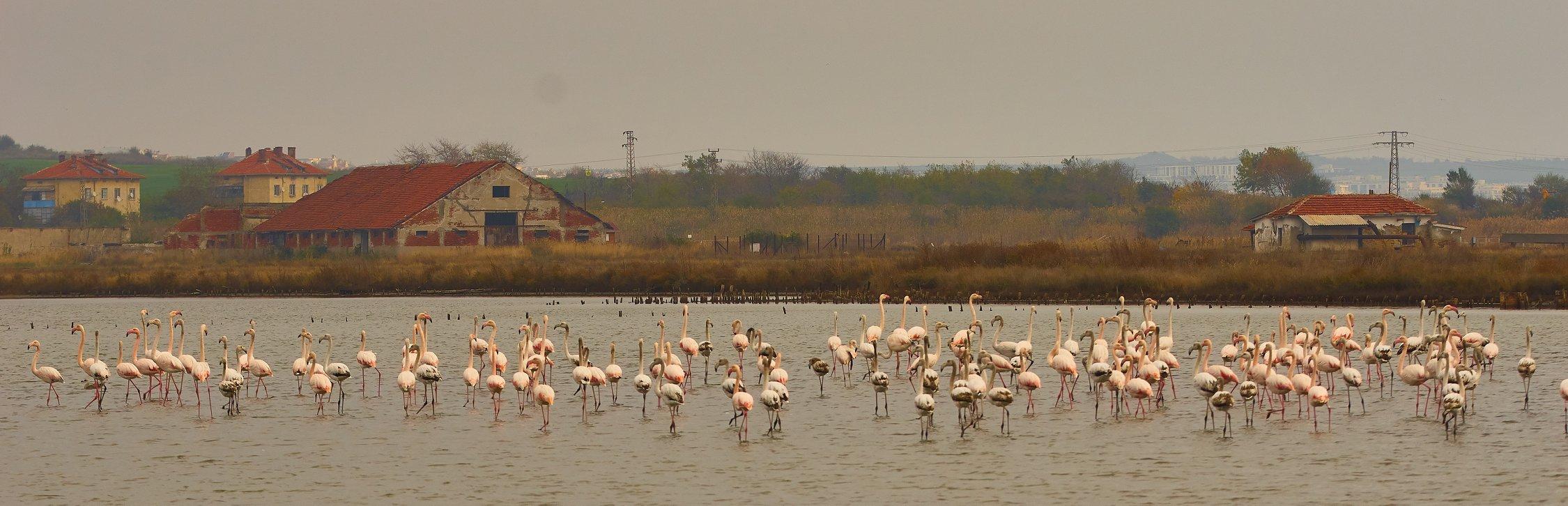 На среща с розово фламинго